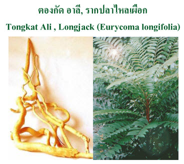ตองกัด อาลี (Tongkat Ali)