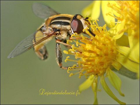Helophilus trivitattus un syrphe au gilet ray jaune et - Mouche jaune et noire ...