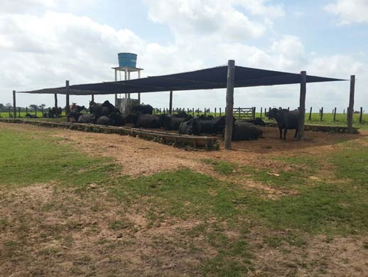 The use of artificial shading is a very positive action in the reproductive management of dairy buffalo herds in tropical regions.