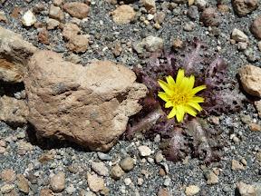 Fleur du désert (1)