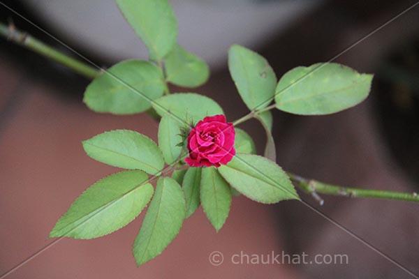 Red rose in my garden