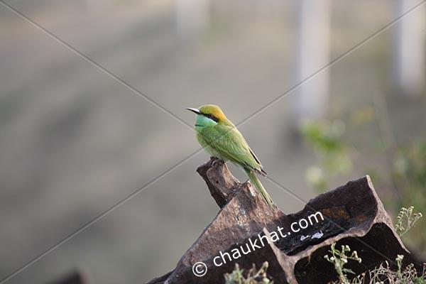 Green Bee-eater [Merops orientalis]