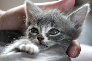 What are other reasons that make a cat to abandon her kittens