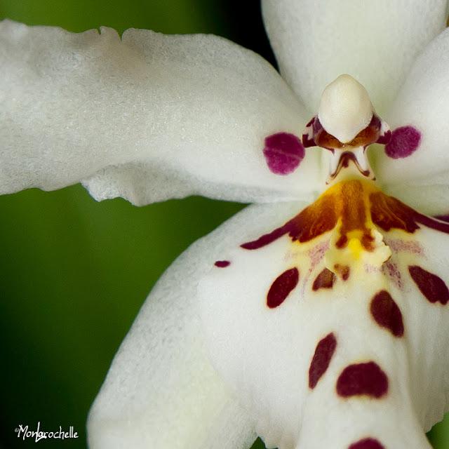 Odontoglossum Winter Wonderland White Fairy OrchOdontoglossumWinterWonderlandWhiteFairy110214_0063RM