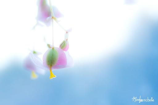 Petites fleurs de Begonia rex BegoniaRex110224_0072MR