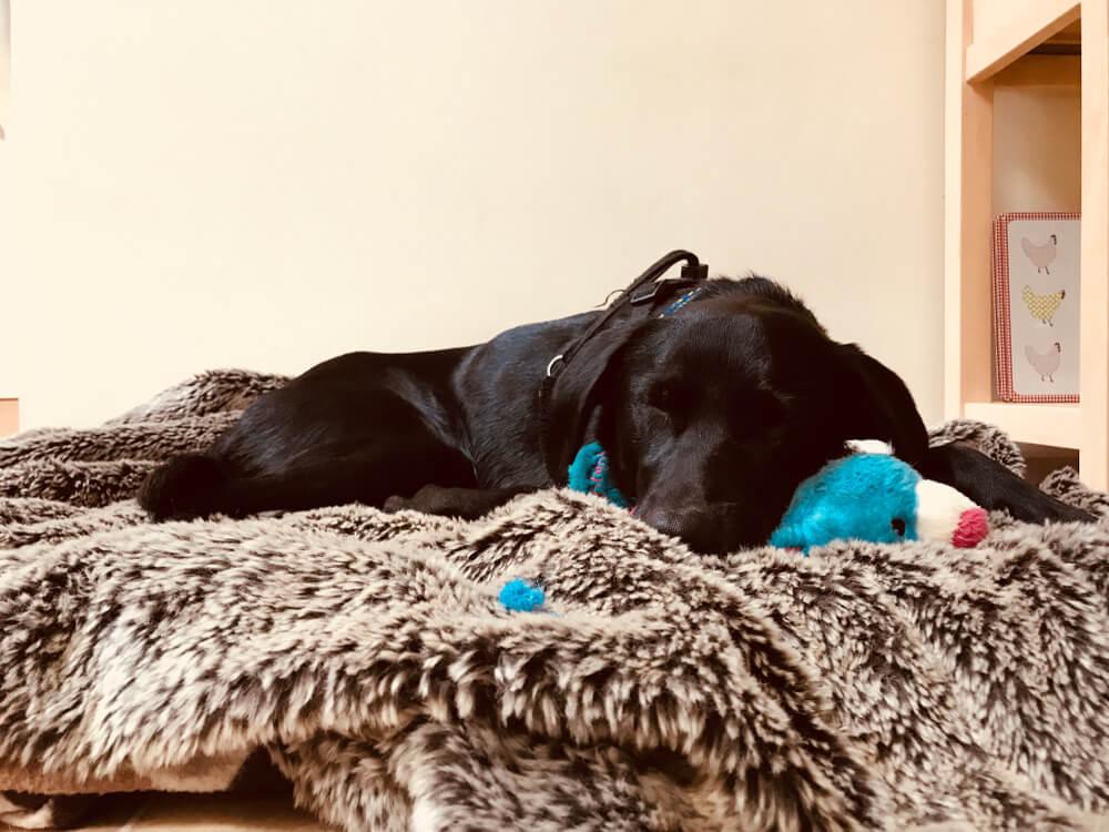 black labrador sleeping on a soft blanket