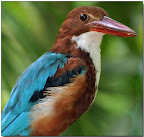 Whitebreasted Kingfisher (H. smyrnesis)