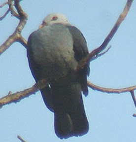 Andaman Wood Pigeon (Columba palumboides)
