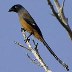 Andaman Treepie ( Dendrocitta bayleyi)