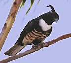 Black Baza(Indian Black Crested Baza-Avicda Leuphotes)