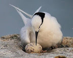 Black-Naped Tern (Sterna sumatrana)