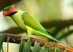 Nicobar parakeet (P. caniceps)
