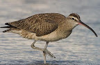 Whimbrel(Numenius phaeopus)