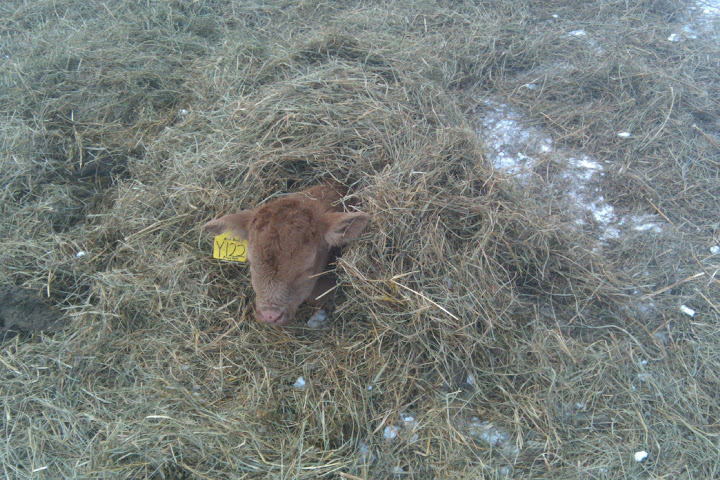 A cozy calf