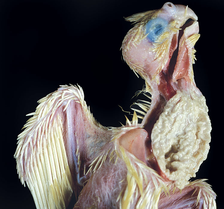 Severe crop mycosis in a cockatiel chick