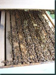 Bees June 2 07 007