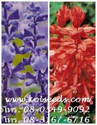 เมล็ดพันธุ์ดอกไม้ประดับซัลเวีย