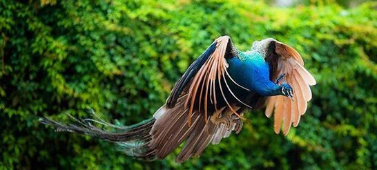 2.Mơ thấy chim công bay lên cao