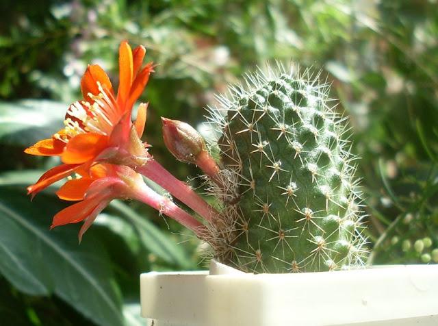 Наши кактусы - Страница 9 SDC18669