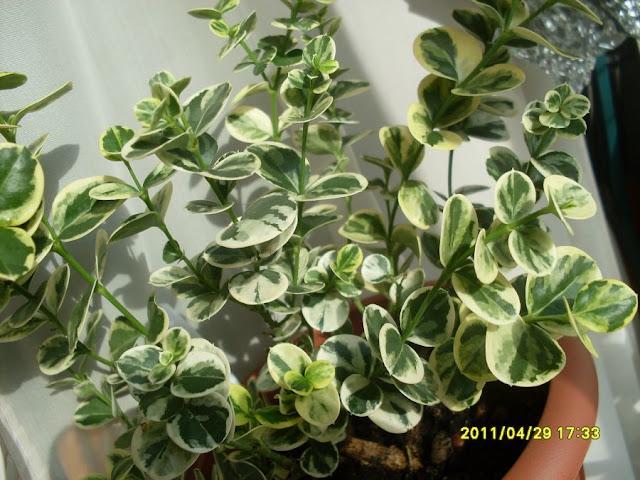 Карисса грандифлора(Carissa grandiflora) SDC18728
