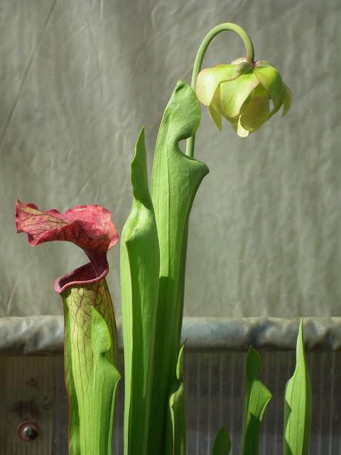 Sarracenia, vigueur du printemps DSCF2208