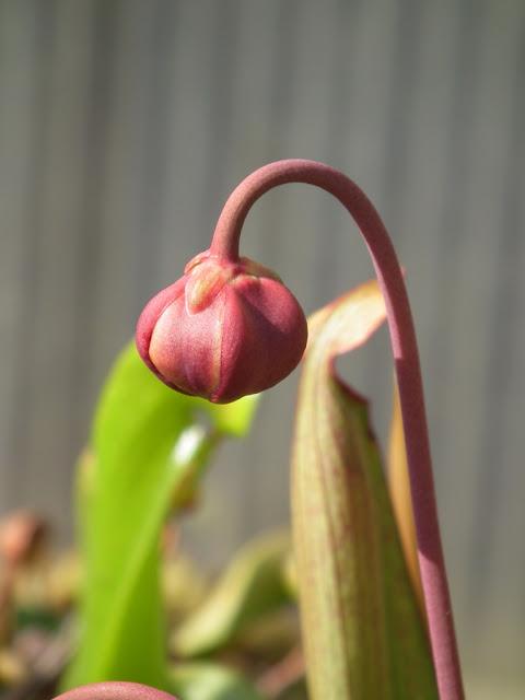 Sarracenia, vigueur du printemps DSCF2210