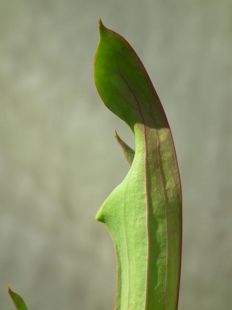 Sarracenia, vigueur du printemps DSCF2217