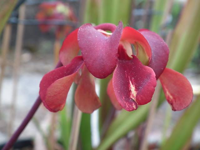 Sarracenia, vigueur du printemps DSCF2351