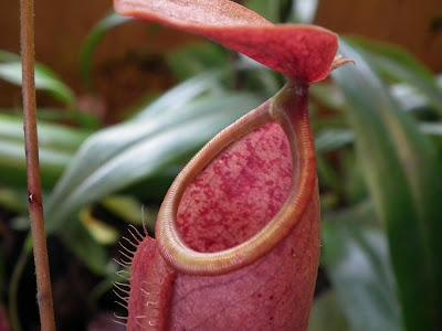 Grand terrarium à Nepenthes à vendre DSCF2323