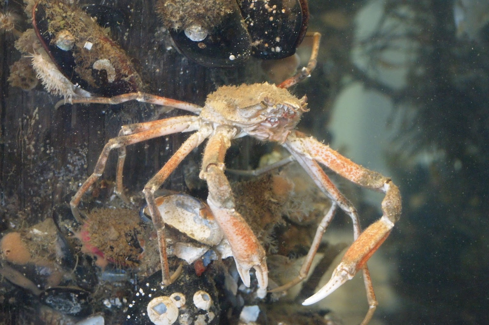 Longhorn Decorator Crab by Wendy F.JPG