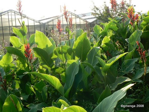 Julesvernehorticulture canna indica - Plante a feuilles rouges ...