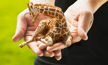 mini hand held giraffe cuteness