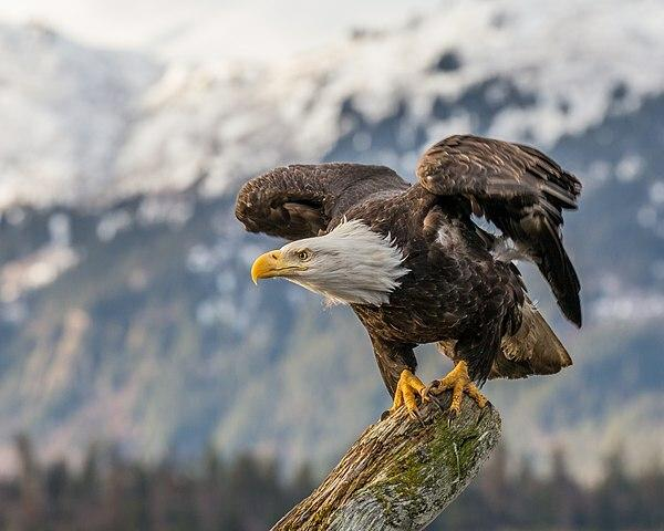 The American Bald Eagle In Our Culture