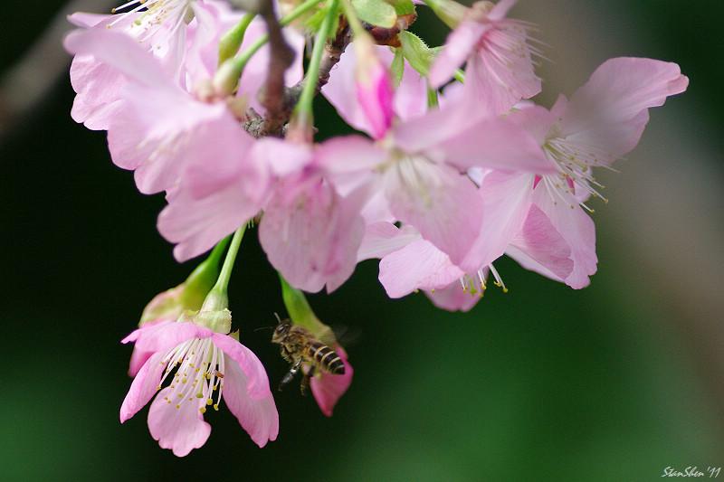 偷懶的櫻花物語