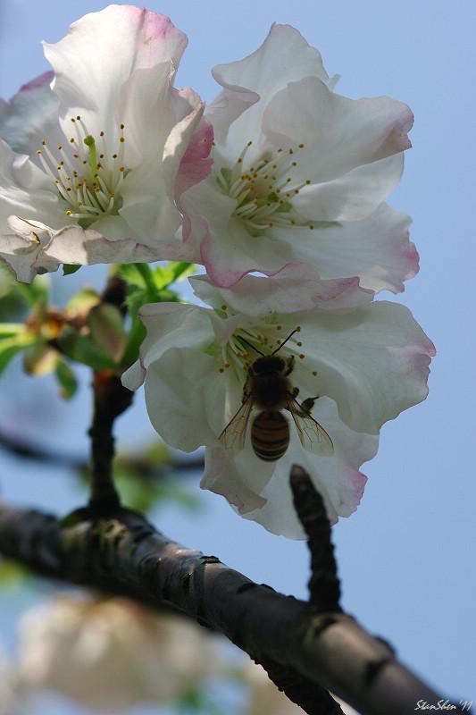 測試F100 macro - 春陽微櫻