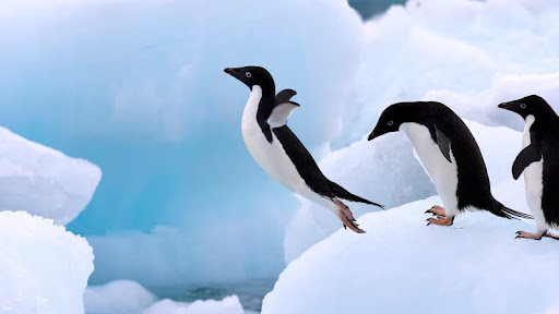 Adelie Penguins, Antarctic Peninsula.jpg