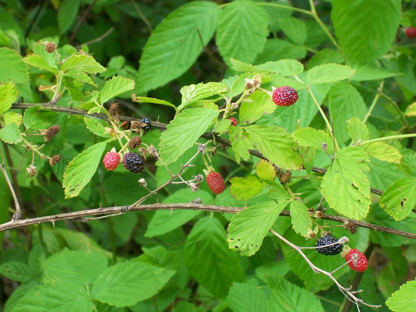 Wild Berries Scouting Report & Blackberry Recipes