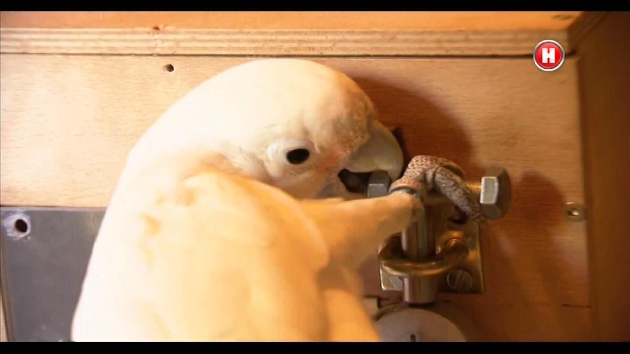 Папуга відкриває замок