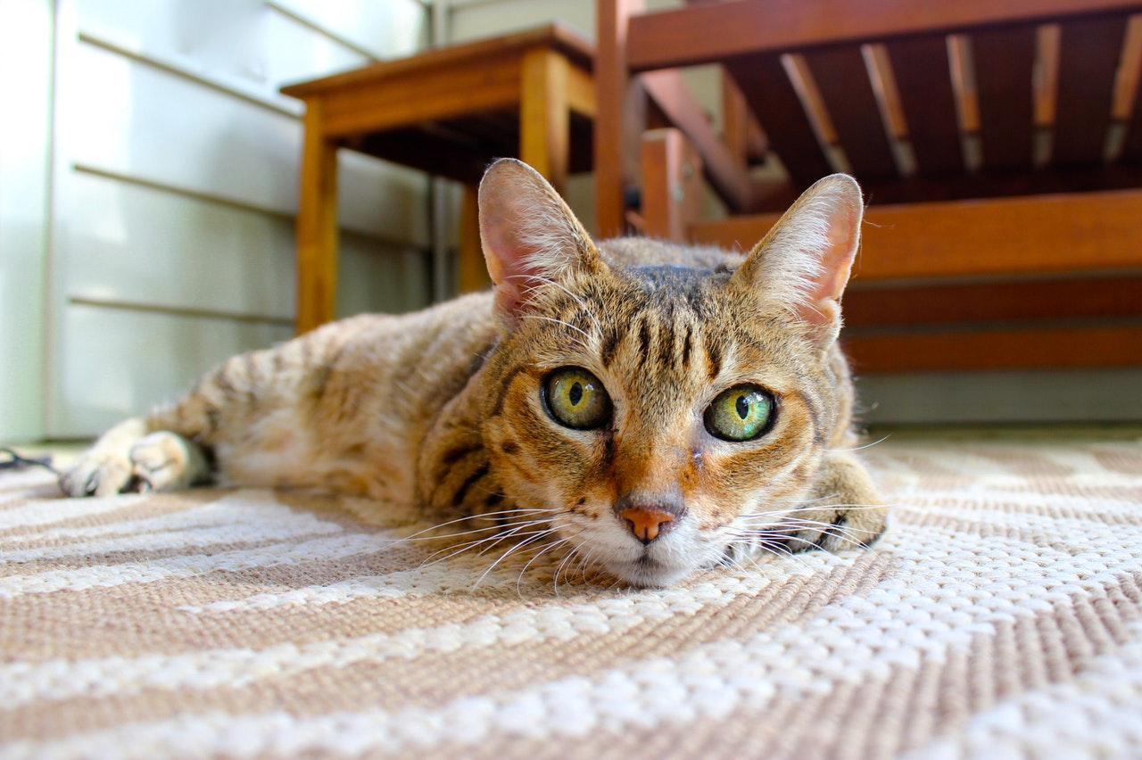 How to get rid of cat pee smell on carpet using natural, home-mad cleaners or enzymatic cleaners.