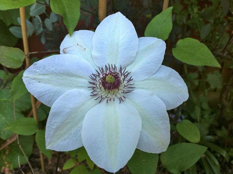 Цветок клематиса «Мисс Бейтман»