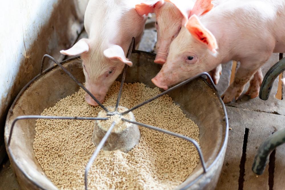 Produtor deve procurar estratégias para se precaver contra possível valorização dos grãos que compõem a ração animal. (Fonte: Shutterstock/apidach/Reprodução)