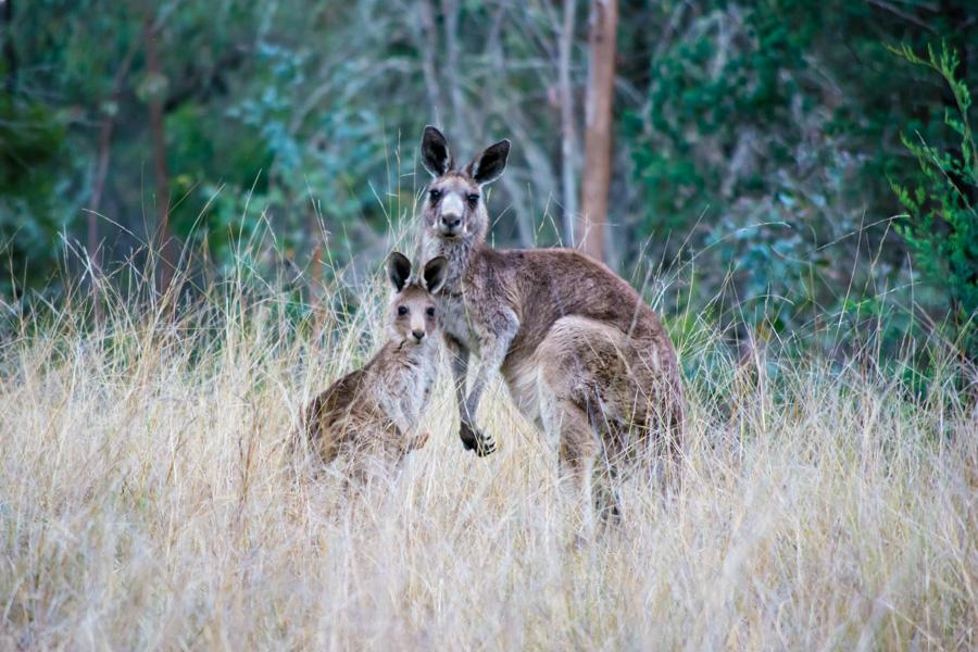 Австралия, кемпинг. кенгуру