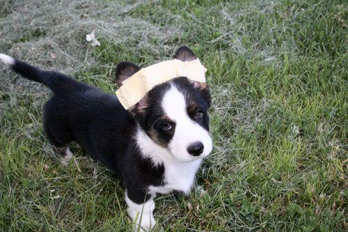 taped corgi ears