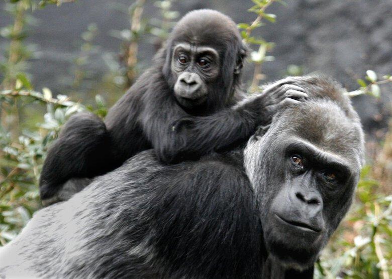 Amanda the gorilla, Woodland Park Zoo's oldest animal ...