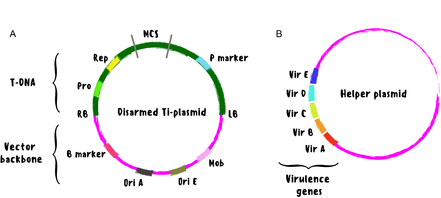 components of the binary vector for agrobacterium transformation consist of the disarmed Ti-plasmid and the helper plasmid