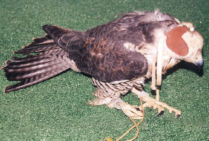 Lead toxicosis in a peregrine falcon