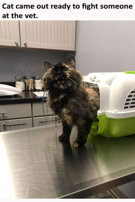 Gata carey tratando de esconderse del veterinario