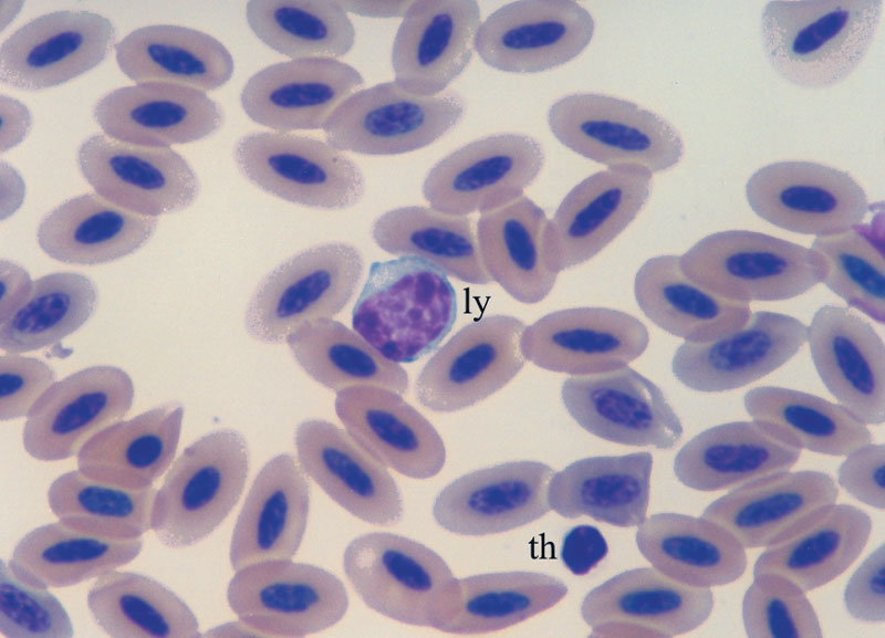A normal lymphocyte (ly) and a normal thrombocyte (th)