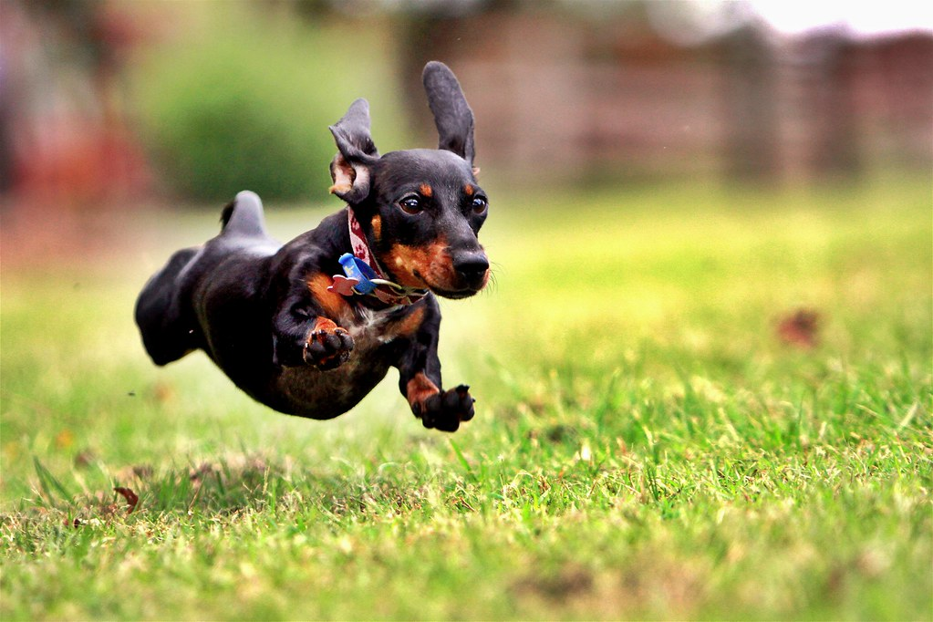 Small Dachsund dog in mid-air while running