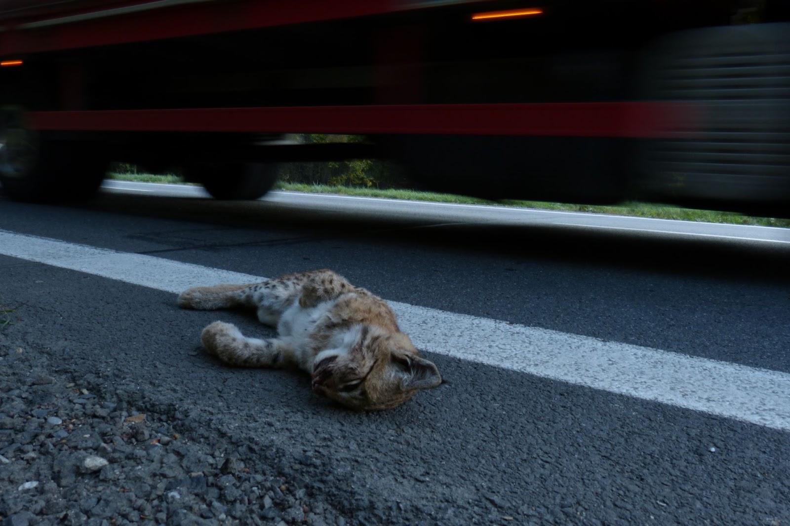 Mrtvý rys sražený na silnici u Lidečka; zdroj: Michal Bojda